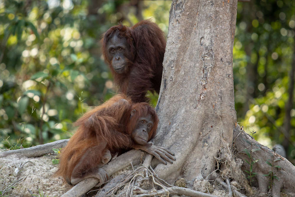 orangutans-by-trunk-smaller-size.jpg#asset:4205
