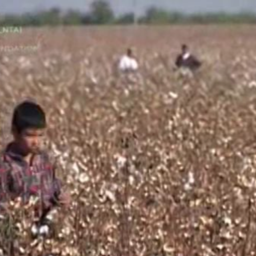 Cotton: child labour and human rights abuses