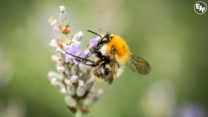 Applying the precautionary principle to pollinators and pesticides: The importance of objective research