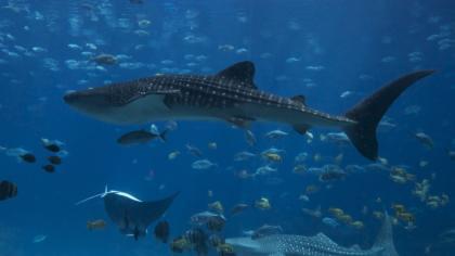 Gefürchtet, gejagt, geschlachtet: Haifische weltweit in Gefahr