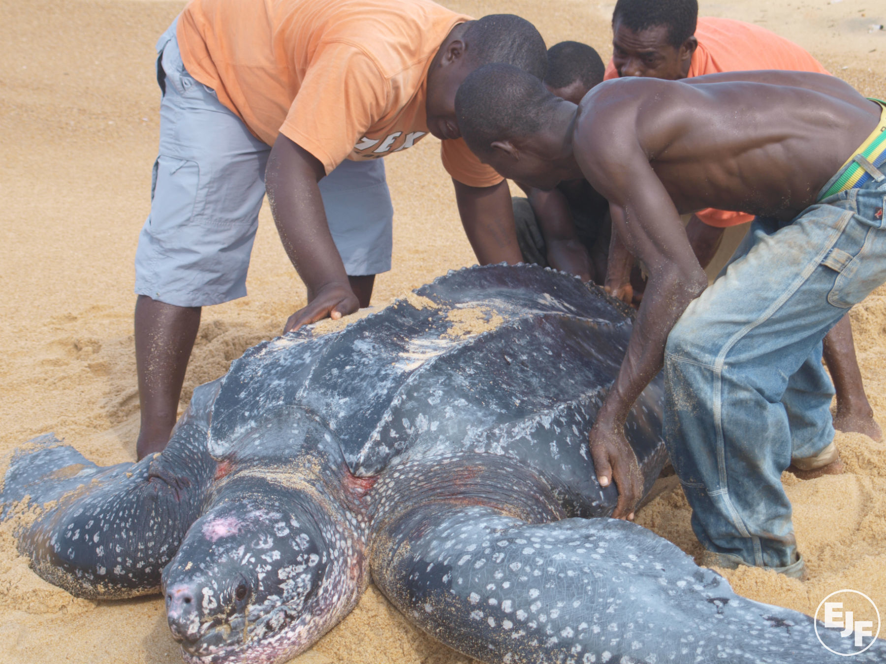 Help EJF save nesting marine turtles