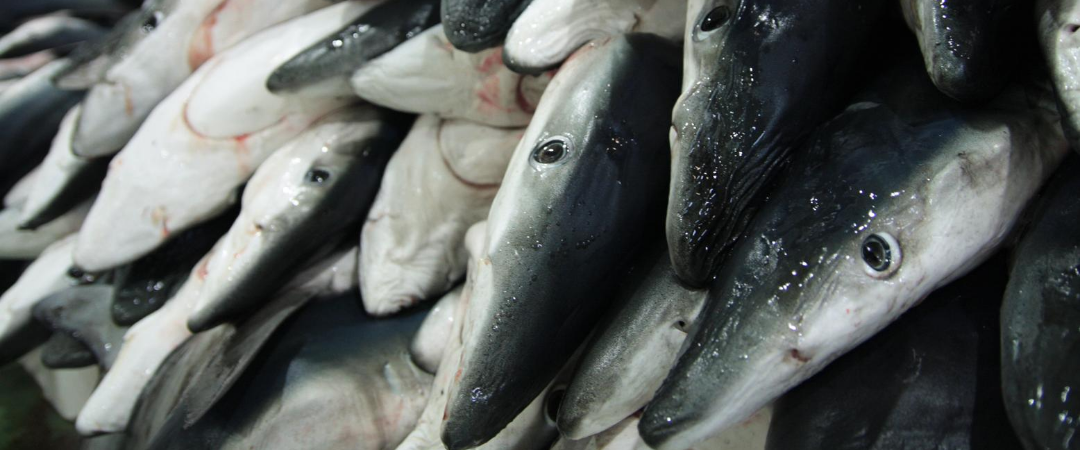 Illegale Fischerei: eine existenzielle Bedrohung für Haie und Ozeane