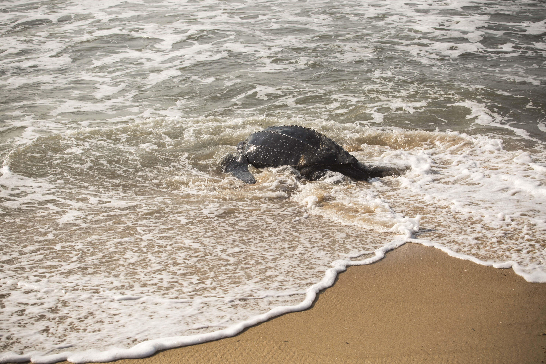 Ghana turtle 2