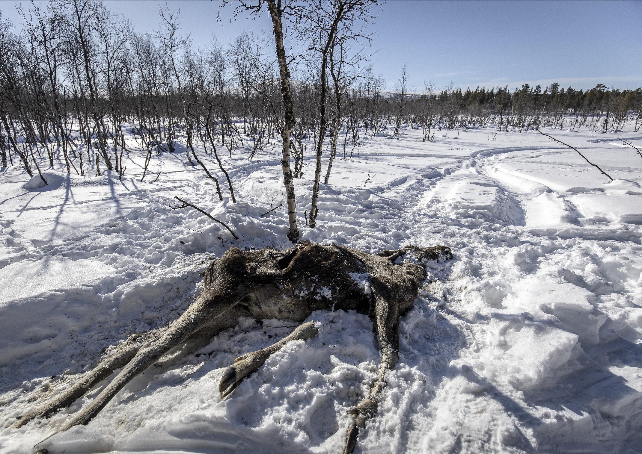 Moose Near Kiruna Northern Sweden