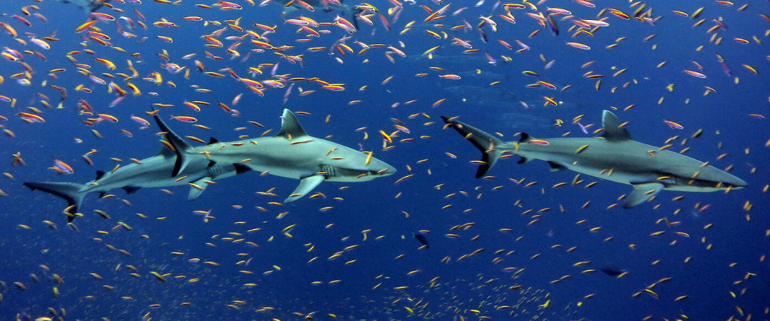 Illegal fishing: an existential threat for sharks and the oceans