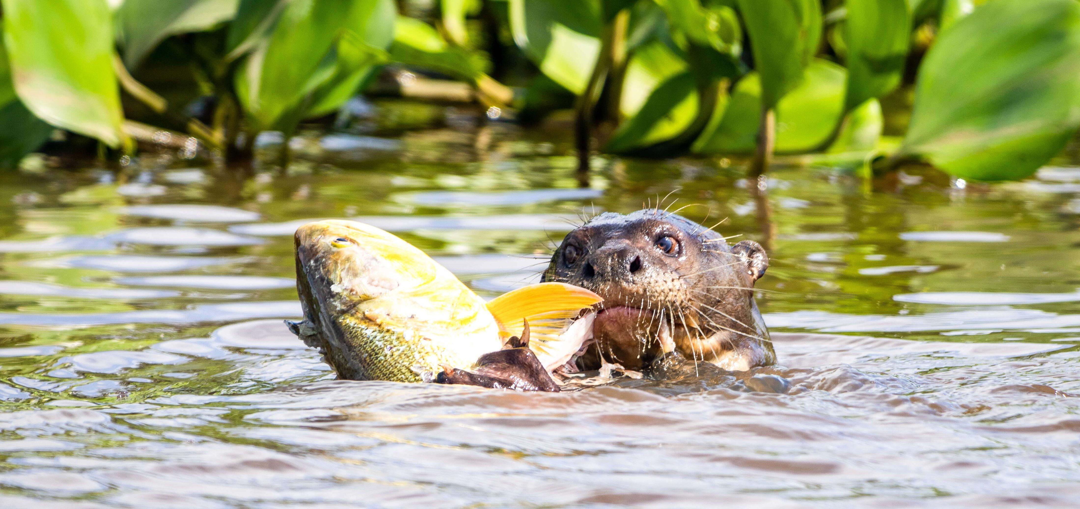 Otter Pantanal
