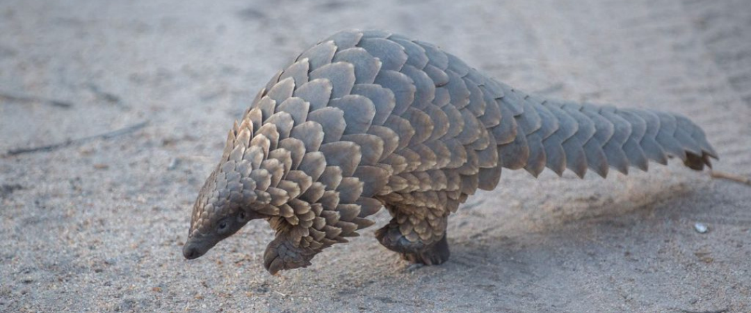 Let's protect pangolins and stop the next pandemic