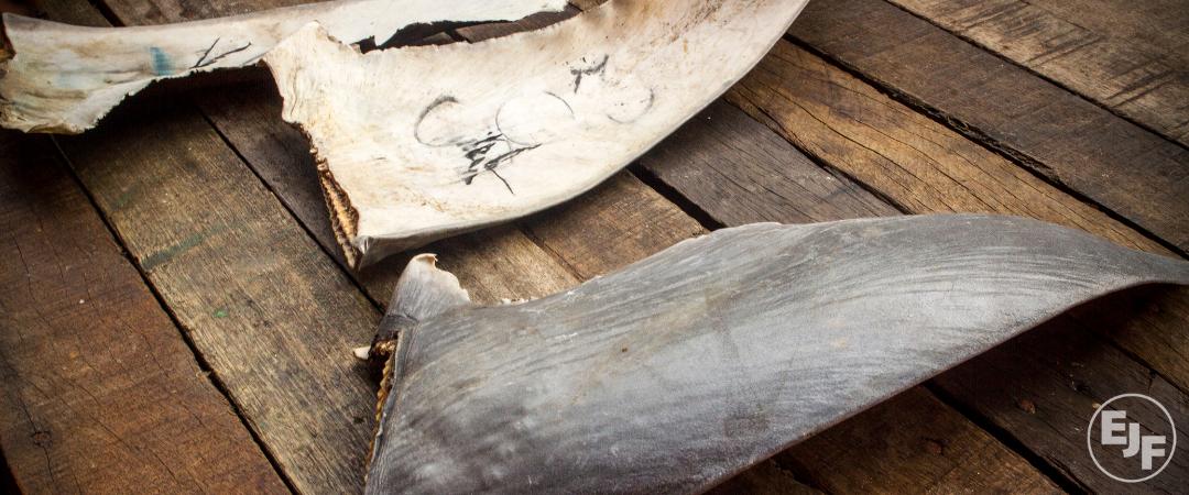 Gejagt und geschlachtet: Haifische sind weltweit bedroht