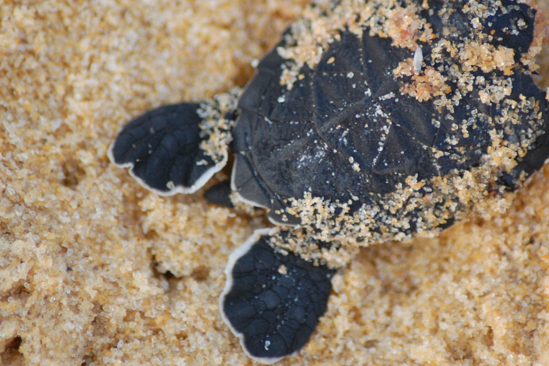 EJF in the field: Turtle nesting season in Ghana