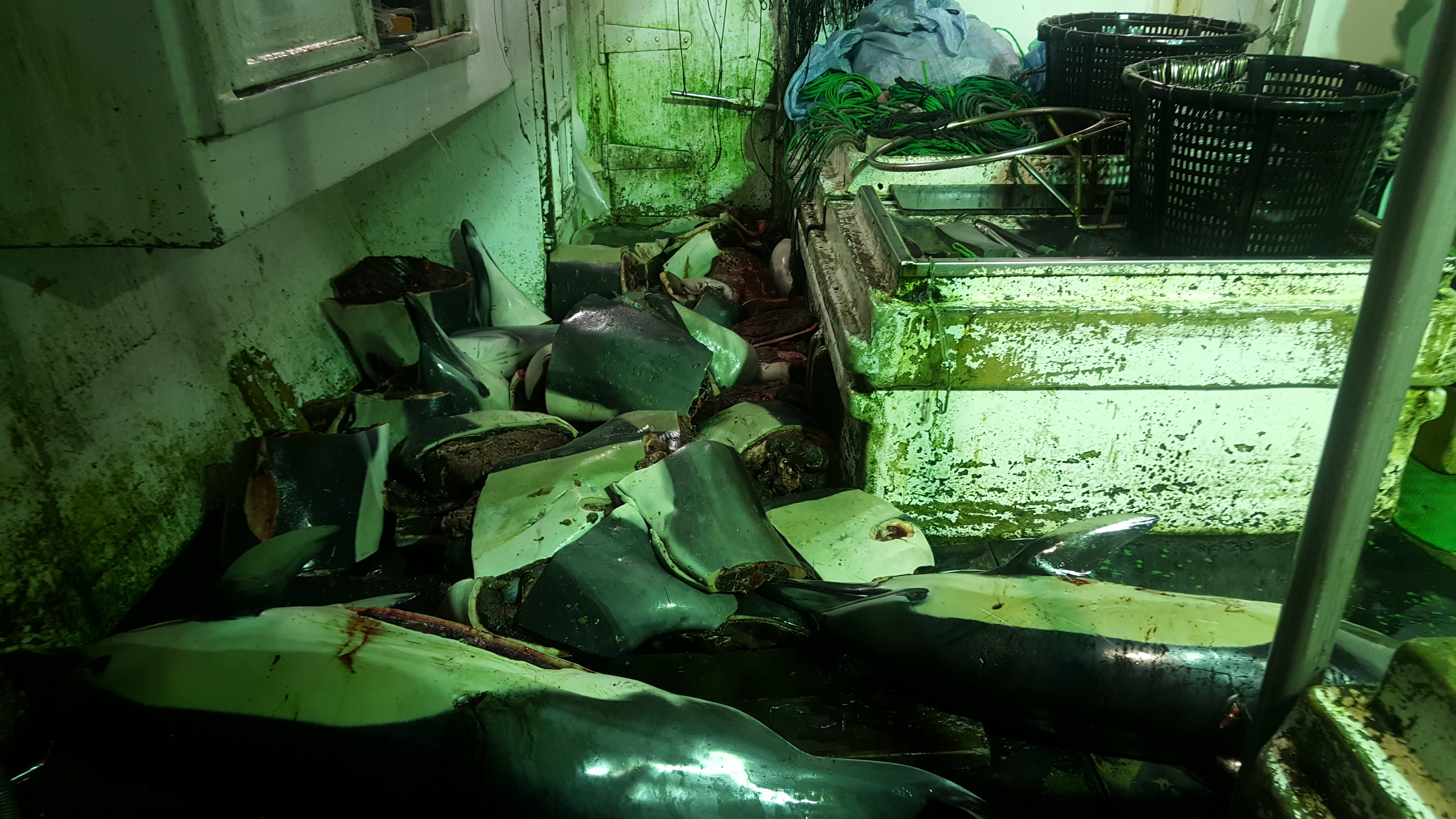 Taiwan fishing vessels target dolphins as bait for sharks