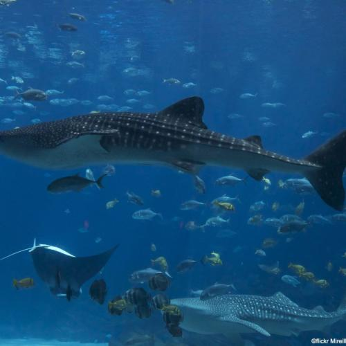 International Whale Shark Day: More Vulnerable than Vicious