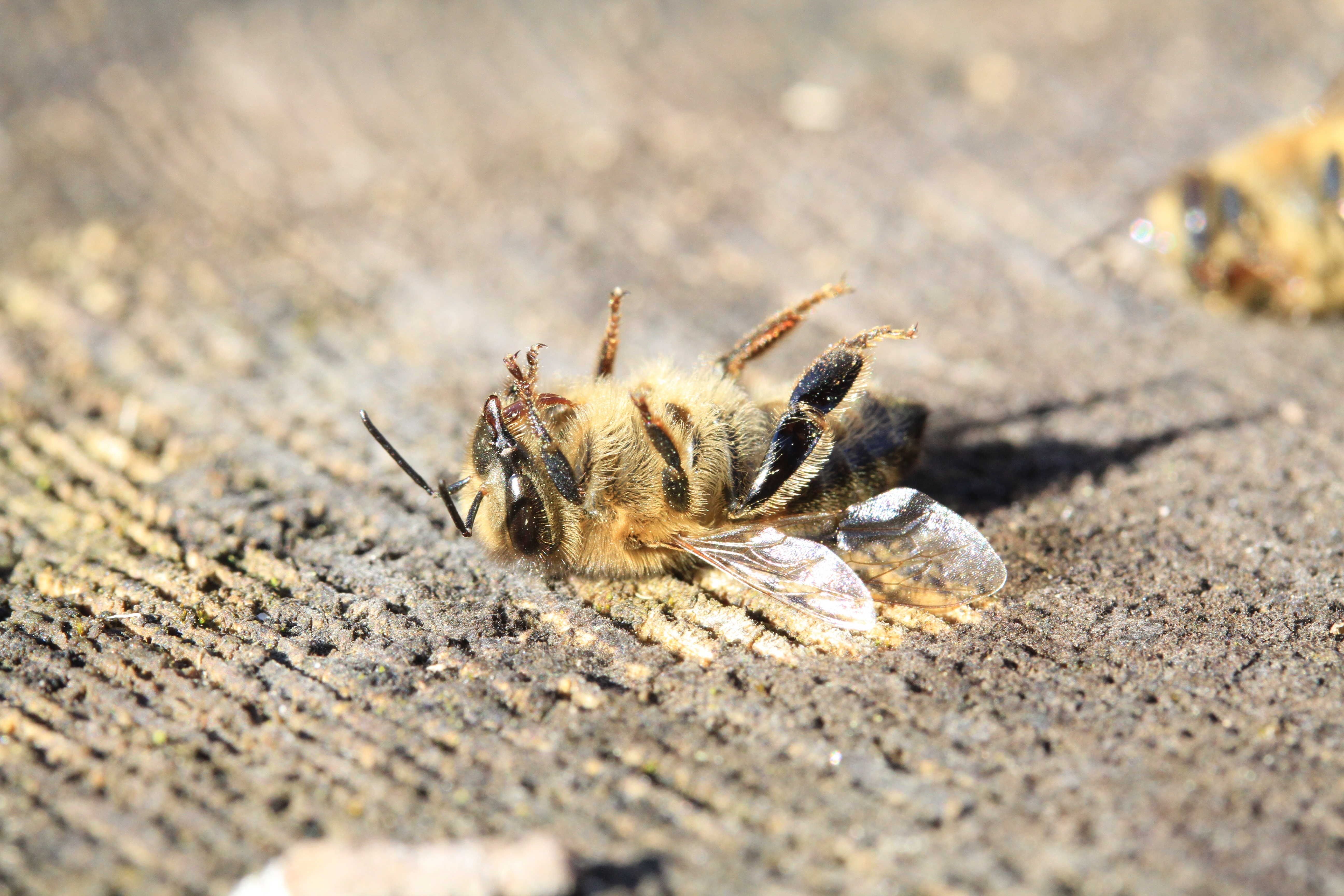 The zombie pesticide: Are bee-killing neonics back under Brexit?