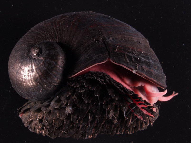 Scaly foot snail