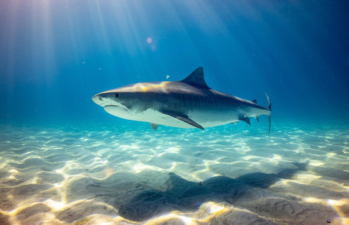 Mehr als Raubtiere: Haie halten den Ozean gesund