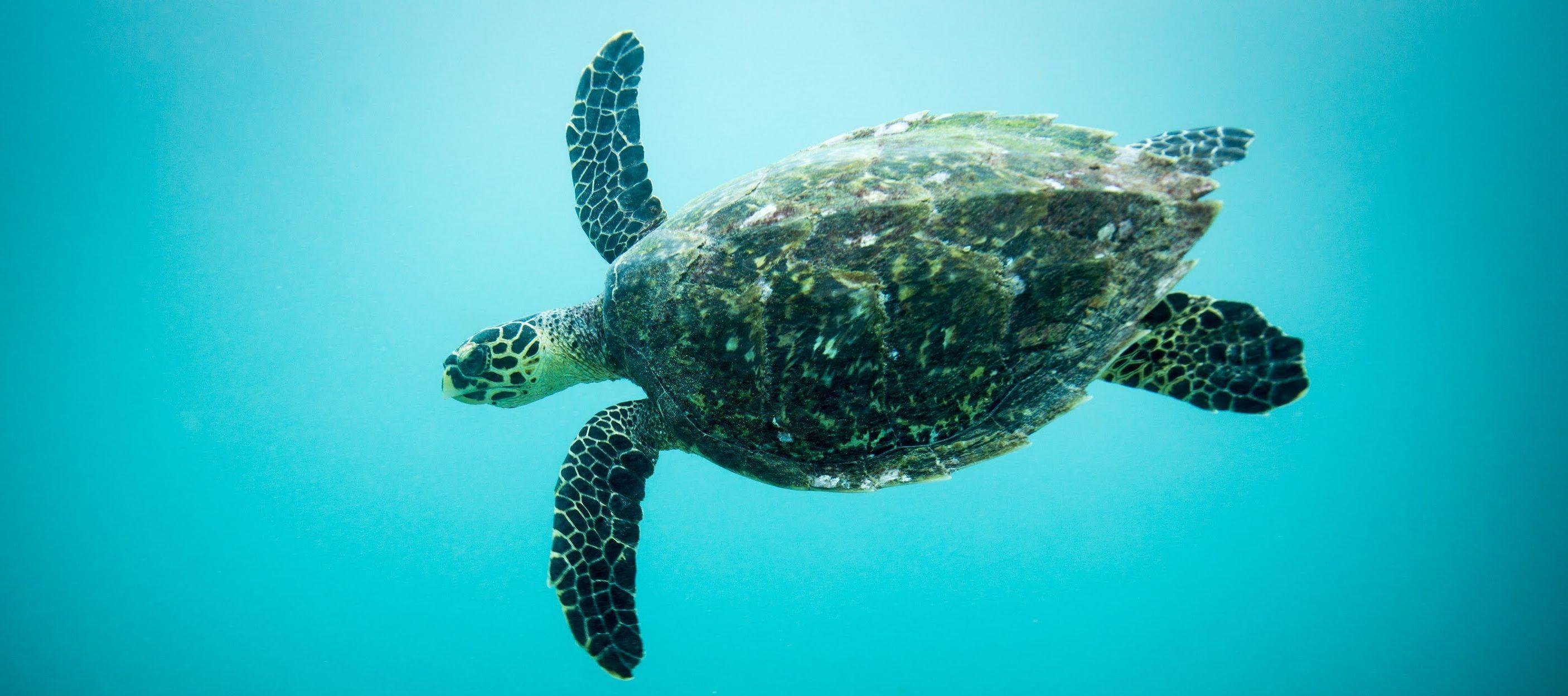 One week to save sea turtles