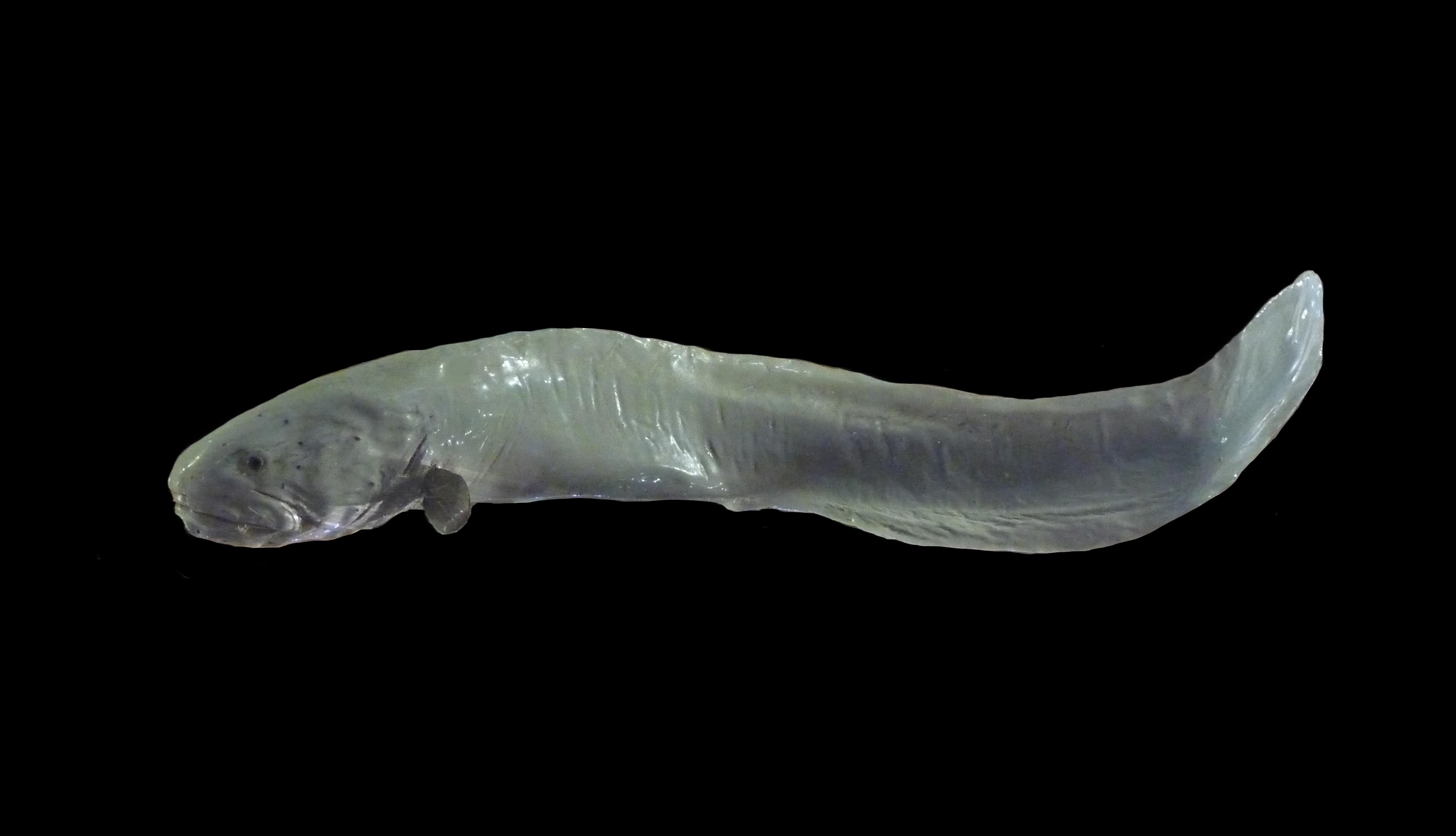 Zoarcid fish
